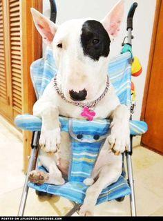 Bull Terrier In A Stroller