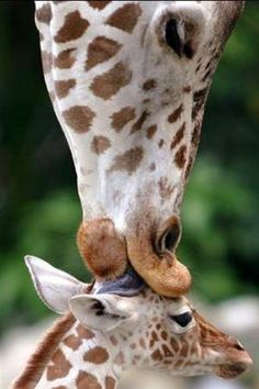 Cute Baby Giraffe being kissed by Momma Giraffe