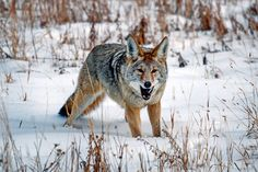 Winter coyote hunting comes down to proper scouting, excellent calling techniques and great shooting. Applying these tips will always up your coyote game. Predator Hunting, Coyote Hunting, Hunting Tips, Deer Hunting, Coyote Tracks, Sheep Fence, Coyote Trapping, Varmint Hunting, Hunting Magazines