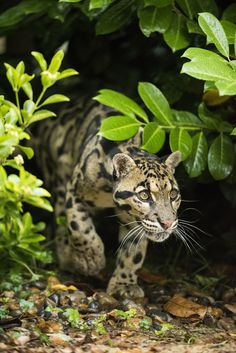 Clouded Leopard by Colin Langford on 500px