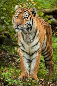 Siberian tiger (Panthera tigris altaica) by Jindřich Pavelka / Tiger Photography, Fashion Design Portfolio, Siberian Tiger, Cute Creatures, Art Styles, Big Cats, Kitten, Wildlife, Nature