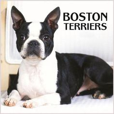 Boston Terrier Funny Puppy | Free Animal Wallpapers