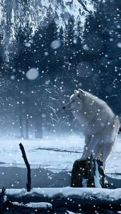 Beautiful white wolf in the snow.