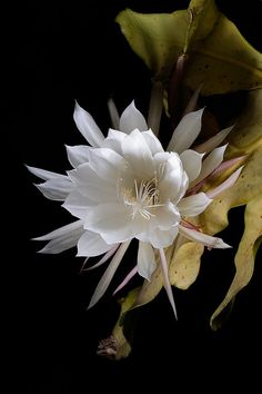 """Queen of the Night""~ Gorgeous night blooming cactus flower; Image by thericerocket26."