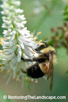 Rusty Patched Bumble Bee ~ Bombus affinis