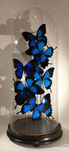 Papillon Ulysse Ensemble de 8 spécimens sous globe Napoléon III Haut.