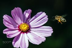Viajando al alimento - Recolección del polen en verano
