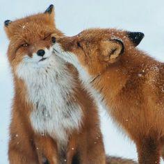 """Amo raposas. Lindas majestosas e selvagens. Triste pensar que ainda ornamentam ombros de """"senhoras"""" que ainda acham chique levar nos ombros um animal morto. #mercyforanimals"""