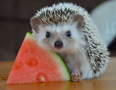 Spiney predator in its natural habitat preying on a melon.