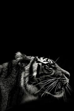 Tiger black and white photography Beautiful Cats, Animals Beautiful, Bengalischer Tiger, Bengal Tiger, Animals And Pets, Cute Animals, Black Animals, Amazing Animals, Drawing Lessons