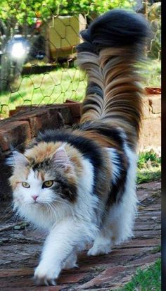 """This is either a Maine Coon or a Norwegian Forest cat. - This is either a Maine Coon or a Norwegian Forest cat…beautiful! """"This is either a Maine Coon o - Most Beautiful Cat Breeds, Beautiful Cats, Animals Beautiful, Beautiful Pictures, Cute Cats And Kittens, Kittens Cutest, Funny Kittens, White Kittens, Photo Chat"""