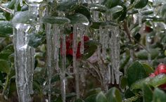 Photography ~ Icicles–Shrubbery & Trees, Fayetteville, North Carolina, 02/17