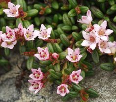 10 Loiseleuria procumbens. Alpine azalea Seeds, Apine plant Seeds, Kalmia procumbens