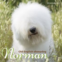 We love Norman, the Old English sheepdog!  Only adorable stormin' Norman, could work a bad hair day with quite such fabulous style. But don't worry ~ he does sport a headband to keep that gorgeous hair out of his eyes, when the serious play begins. #instagram #dogs #Norman