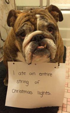 dog shaming - ate christmas lights