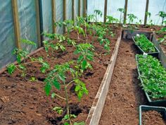 Information on how to avoid problems in growing tomatoes by controlling when you plant the tomato plants. Tomato Pruning, Tomato Seedlings, Tomato Plants, Tomato Garden, Vegetable Garden, Garden Tomatoes, Organic Gardening, Gardening Tips, Growing Tomatoes In Containers