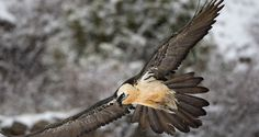 Bearded Vulture (Gypaetus barbatus) An adult in flight with snow fall. Harpy Eagle, Bald Eagle, Feathered Dragon, Vulture, Birds Of Prey, Bearded Dragon, Bird Species, Mongolia, Creature Design