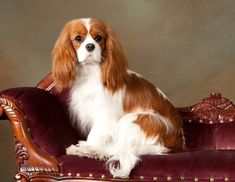 Best family dogs- Cavalier King Charles Spaniels!