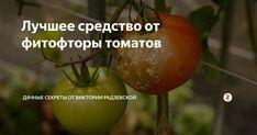 Лучшее средство от фитофторы томатов