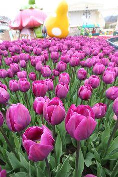 에버랜드 튤립축제   Tulip festival @ EVERLAND (South Korea)