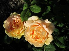 Golden Celebration David Austin rose. A Merry-la-Vallée. Yonne