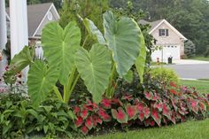 Elephant ears from Longfield Gardens planted as a back drop to caladium creates a stunning layered garden that withstands the heat of summer.
