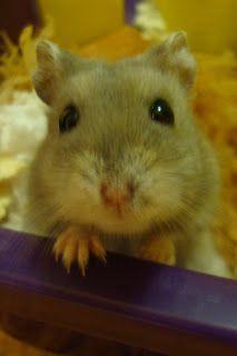 Ms. Fultzs Corner:Dwarf Hamsters in the Classroom