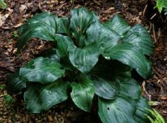 Hosta 'Looking Glass', two from O'Brien Nursery