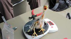 Science doesn't impress this baby Green Heron. Photo: Karen A. Westphal/Coastal Scientist for Audubon Louisiana