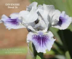"""*Iris  (H. Stout 2016) SDB iris, 13-15"""", M.  S. and style arms white with purple stigmatic lip; F. white with large deep violet blue spot. Distinctive baby green chartreuse at hafts with white veining around beard: Beards are palest blue, white at tips."""