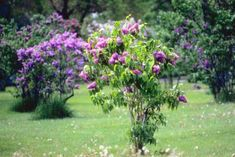 The common lilac (Syringa vulgaris) grows as a large bush and produces extremely fragrant flowers in shades of purple and white. Lilac bushes typically bloom for a short period in the early summer ...