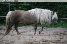 mushroom - Shetland Pony mare Voutilan Nebylah