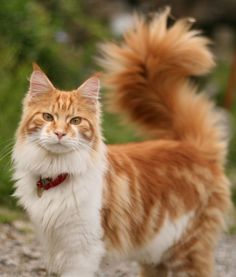 10 Maine Coon Cat Facts - Cats Tips & Advice Pretty Cats, Beautiful Cats, Animals Beautiful, Cute Animals, Kittens Cutest, Cats And Kittens, Ragdoll Kittens, Tabby Cats, Funny Kittens