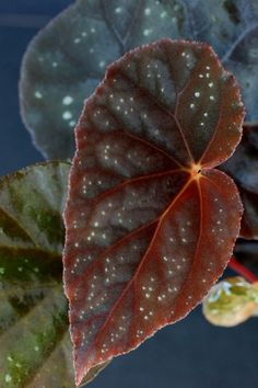 Begonia integrifolia