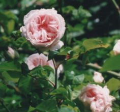 Climbing rose Souvenir de la Malmaison, she came by mail order,  a tiny little root I planted in my parents swiss garden. Reminiscent of a ball gown, literally hundreds of pink petals from the gardens of Josephine de Beaurnais, Madame Bonaparte...