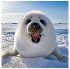 A happy baby Harp Seal at Iles de la Madeleine in East Canada. Harp seal pup playing on ice. Photo by Keren Su. Baby Harp Seal, Baby Seal, Cute Baby Animals, Animals And Pets, Funny Animals, Smiling Animals, Happy Animals, Arctic Animals, Funniest Animals