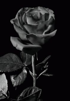 Beautiful colorful pictures and Gifs: Flowers photos Flowers Gif, Pretty Flowers, Beautiful Gif, Beautiful Roses, White Roses, Red Roses, Animé Halloween, Rosas Gif, Rosa Rose