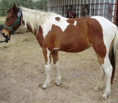 Morgan is an adoptable Paint/Pinto Horse in Rosharon, TX. DOB - Approx. 2009 Height - 13.2 hands and growing Registration None known Color/Markings - Bay and white Tobiano markings Arrived: 10/11/2010...