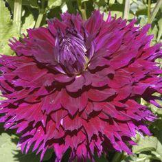Swan Island Dahlias providing the highest quality dahlia bulbs and dahlia flower Unique Flowers, Cut Flowers, Amazing Flowers, Beautiful Flowers, Purple Dahlia, Dahlia Flower, Deep Purple, Summer Plants, Summer Flowers