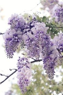 Wisteria. My childhood. laying under   lasrge clumps of theses aromatic flower and staring at its huge twisted vines of   the bush, childhood memories caydence it