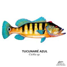 peixe_tucunare_azul Fish Illustration, Medical Illustration, Fishing Girls, Fly Fishing, Fish Mounts, Clay Fish, Monster Fishing, Fish Graphic, Fish Drawings