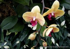 New York Botanical Garden - Orchid perfection...