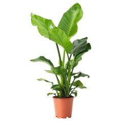 Strelitzia Potplant Paradijsvogelbloem Bestel Hier Ikea Plants Indoor Plants Plant Decor