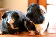 The Guinea Pig Daily: February 2014