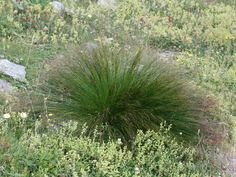 spiny rush uae - Google Search