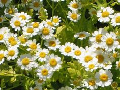 Learn how to grow feverfew. Growing feverfew plant is relatively easy. It is a useful medicinal herb, plus it embellishes itself with beautiful yellow-white flowers.