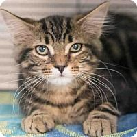 Adopt One of these Great Cats ! Norfolk, Mercury, Adoption, Cats, Animals, Gatos, Animais, Animales, Kitty Cats