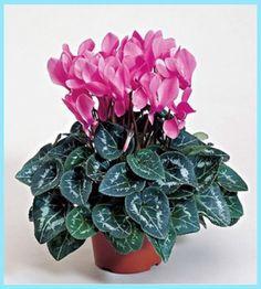 siklamen bakımı nasıl yapılır, siklamen bakımı, siklamen, siklamen yetiştiriciliği, siklamen çiçeği, siklamen bitkisi bakımı, siklamen bitkisi,