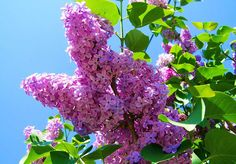 Planting Lilac Bushes amp How to Grow Them: Want the most fragrant plant on earth in your garden? Learn about planting lilac bushes and how to grow them, including how to prune lilacs, and lilac care! Flowers Perennials, Planting Flowers, Flower Plants, Flower Gardening, Wisteria How To Grow, Japanese Lilac, Lilac Varieties, Lilac Plant, Lilac Tree