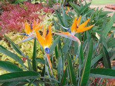 How gorgeous are these Bird of Paradise flowers found in Oahu, Hawaii. Picture taken at the Dole Plantation